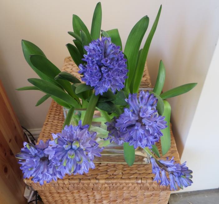 cut hyacinths 001
